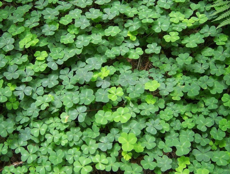 lucky-clover-patch